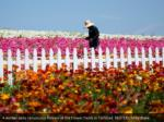 a worker picks ranunculus flowers at the flower 5