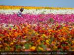 a worker picks ranunculus flowers at the flower 6