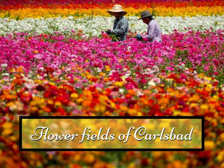 flower fields of carlsbad n.