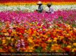 workers pick ranunculus flowers at the flower 1
