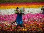 workers pick ranunculus flowers at the flower