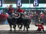 jockeys compete in chonburi s annual buffalo race 1