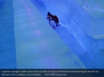 a gentoo penguin walks down the ice slide during