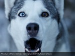 a husky is tethered before a training run reuters 1