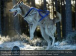 a husky is tethered before a training