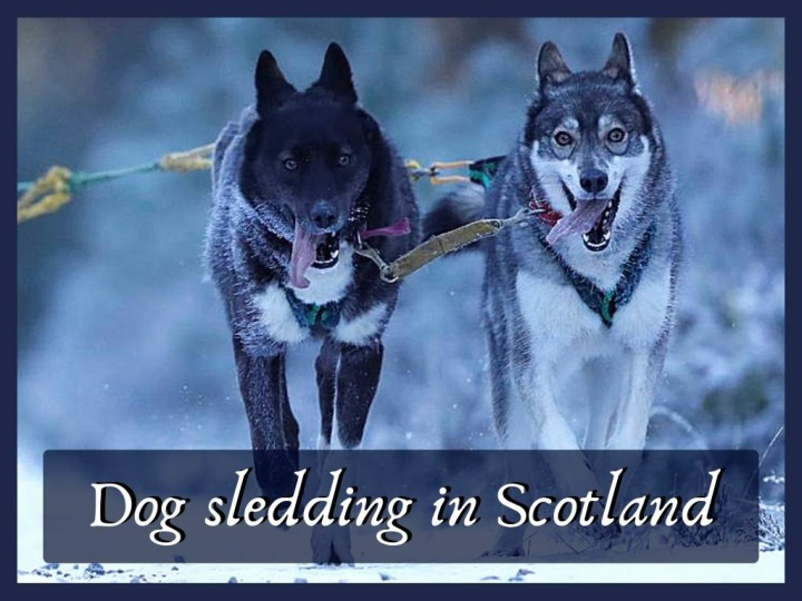 dog sledding in scotland n.