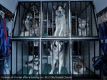 huskies sit in a van after a training run reuters