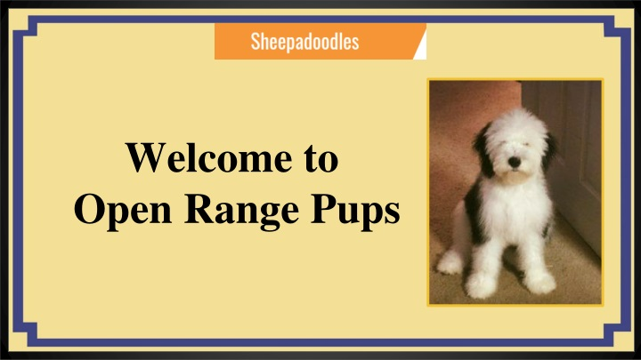 Ppt Sheepadoodle Puppies For Sale Eckertco Open Range