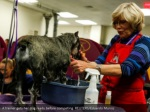 a trainer gets her dog ready before competing