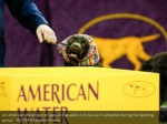 an american water spinel spaniel dog waits