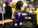 lodi a curly coated retriever from new jersey