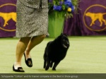schipperke colton and its trainer compete
