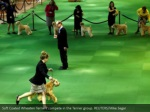 soft coated wheaten terriers compete