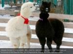 alpacas romeo l and juliette decorated