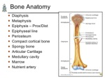 bone anatomy ul li diaphysis