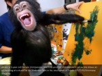 asuka a 3 year old female chimpanzee reacts