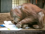 gypsy a 50 year old orangutan draws a picture