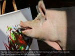 pigcasso a rescued pig paints on a canvas