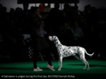 a dalmatian is judged during the final