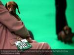 a miniature smooth haired dachshund waits