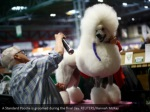 a standard poodle is groomed during the final