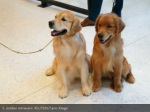 3 golden retrievers reuters carlo allegri