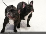4 french bulldogs reuters carlo allegri