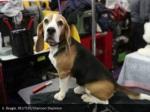 6 beagle reuters shannon stapleton
