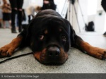 8 rottweiler reuters mike segar
