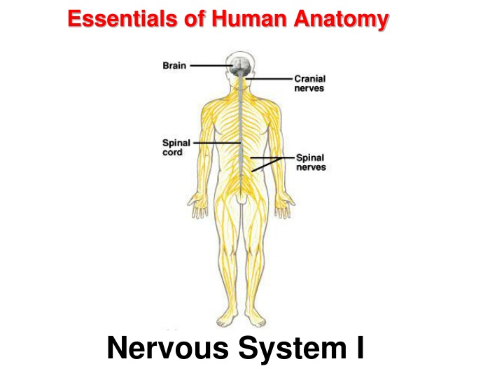essentials of human anatomy n.